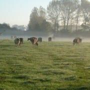koeien aan de waal